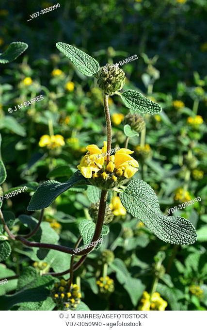 Jerusalem sage (Phlomis viscosa) is a shrub native to Israel, Jordan and Syria