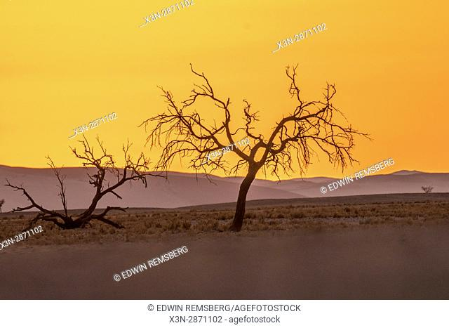 Dead acacia trees in the Deadvlei region of the Namib-Naukluft National Park, located in Namibia, Africa
