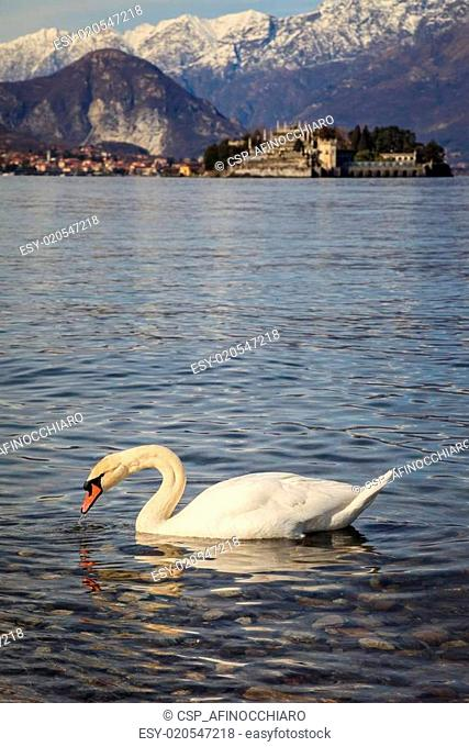 Swan with the Borromee islands in the background