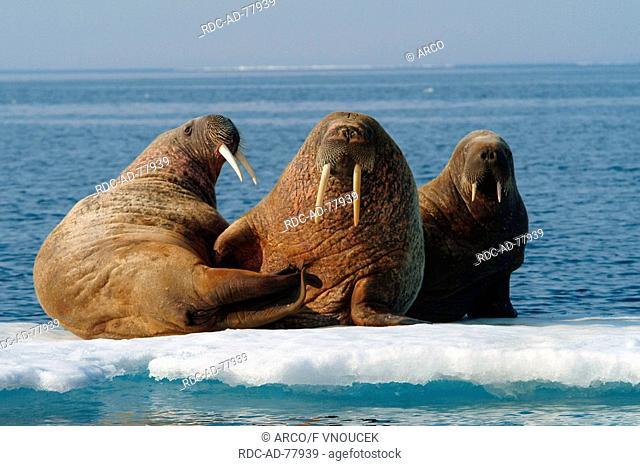 Walruses on ice floe Nunavut Territory Canada Odobenus rosmarus Arctic