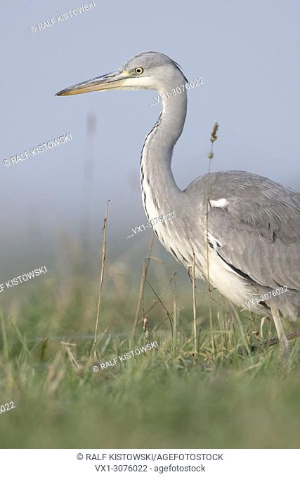 Grey Heron ( Ardea cinerea ) striding through a meadow, high grass, searching for food, in natural surrounding, typical pose, wildlife, Europe