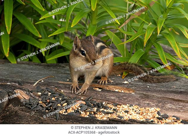 Close-up of Eastern chipmunk (Tamias striatus) filling cheek pouches with seed. Grand Portage State Park, Minnesota, USA