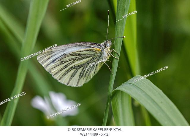 Germany, Saarland, Bexbach - A green-veined white is sitting on a grass-stock