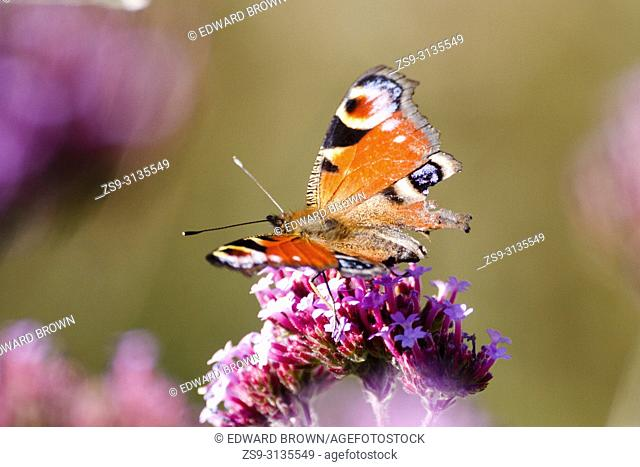 A Peacock butterfly (Aglais io) feasts on a Verbena plant in the morning sun