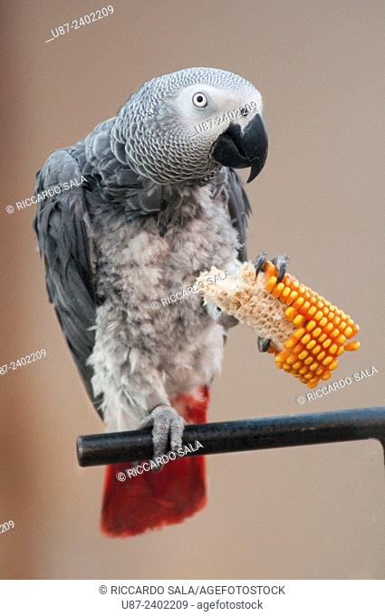African Grey Parrot, Psittacus Erithacus Eating Corn