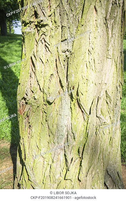 An invasive woody species Black Locust, Robinia pseudoacacia, growing in pilgrimage place Blatnice pod Svatym Antoninkem, South Moravian Region, Czech Republic