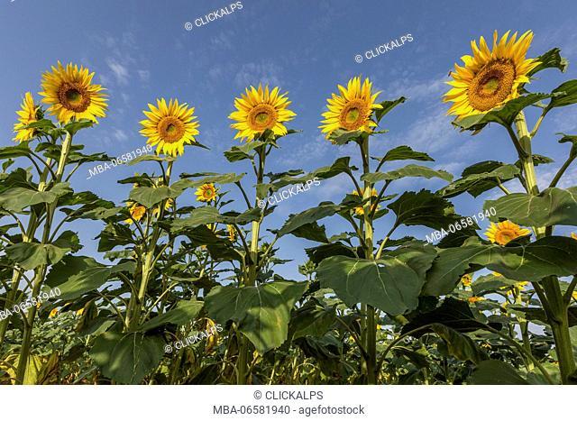 Sunflowers in Provence, Alpes-de-Haute-Provence, Provence-Alpes-Côte d'Azur, France, Europe