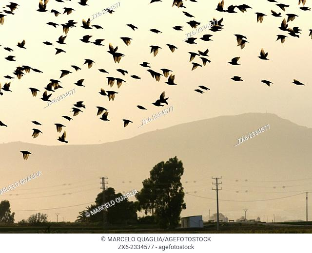 Backlit starlings during harvest time. Ebro River Delta Natural Park, Tarragona province, Catalonia, Spain
