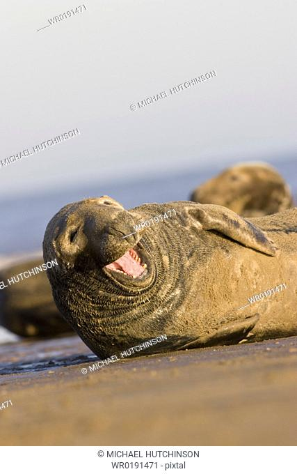 Grey Seal, Halichoerus grypus, yawning on beach humour, Lincolnshire, UK A4 only