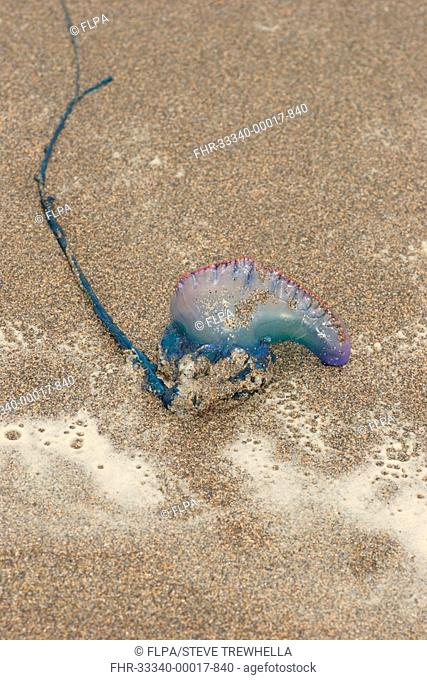Portuguese Man of War Physalia physalis washed up on beach, Sandymouth Bay, Cornwall, England, october
