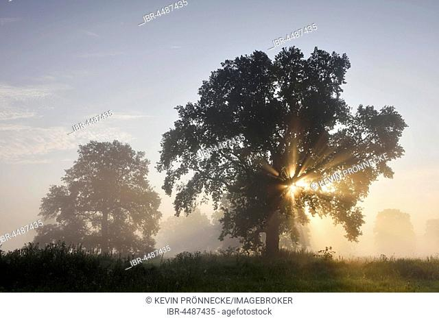 Solitary oak tree, English oak (Quercus robur),River Elbe Floodplains at sunrise, sunrays, foggy atmosphere, Middle Elbe Biosphere Reserve, Saxony-Anhalt