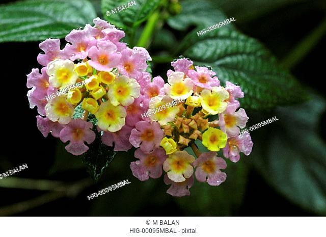 WILD FLOWER, MUNNAR, KERALA