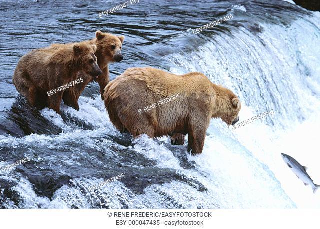 Brown Bears (Ursus arctos). Katmai National Park. Alaska. USA