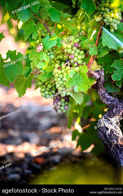 Grappe de gamay dans les vignes du Beaujolais, France