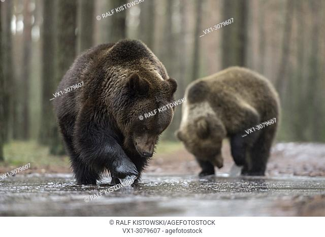 Brown Bears ( Ursus arctos ), standing in shallow water of an ice covered puddle, exploring the frozen water with their paws, looks funny, Europe