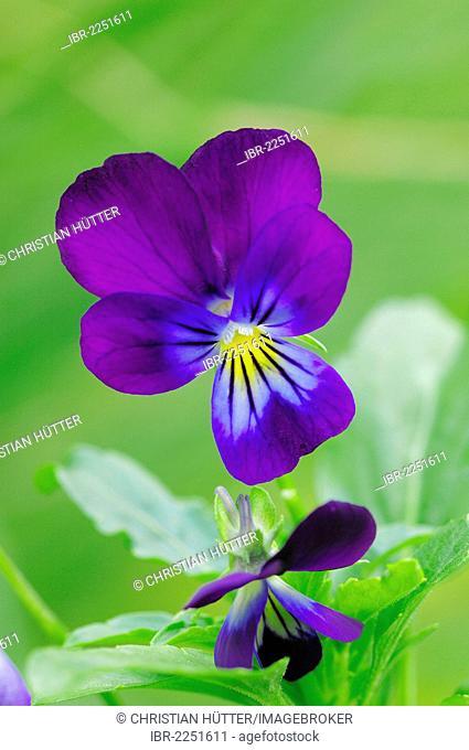 Horned Violet, Tufted Pansy, Horned Pansy (Viola cornuta), flowering