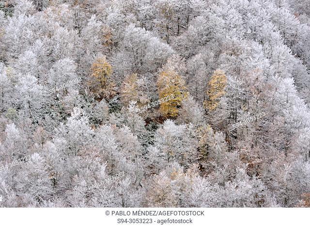 View of La Pedrosa beech wood snowy in la Quesera mountain pass, Riaza, Segovia, Spain