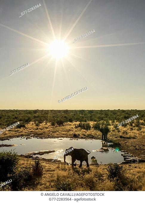 Elephants drinking in a pond, Etosha National Park, Namibia