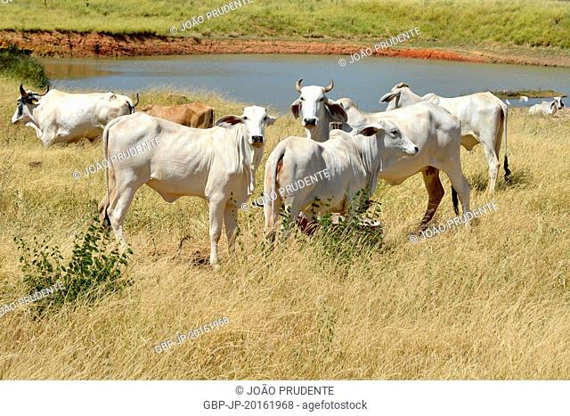 Nellore breed of cattle in rural areas, Guanambi, Bahia, Brazil, 03.2016