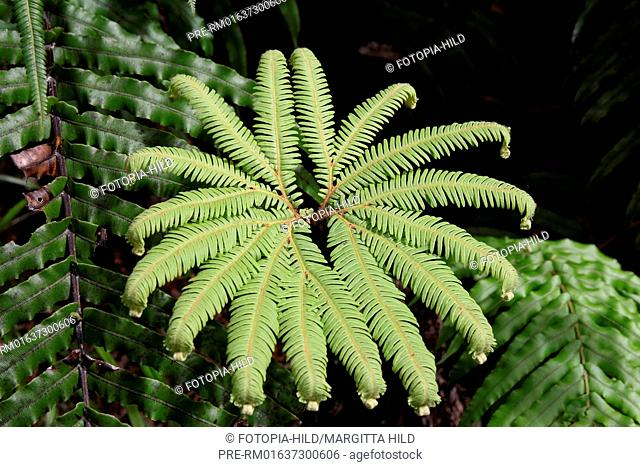 Fern, West Coast, South Island, New Zealand / Farn, West Coast, Südinsel, Neuseeland
