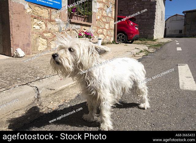 Dog in Agés. From Villafranca Montes de Oca to Burgos. Walking the Camino. Pilgrimage route to Santioago de Compostela. The Camino French Way traditionally...