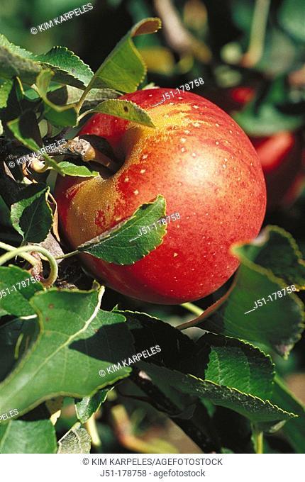 Ripe gala apple on tree. USA