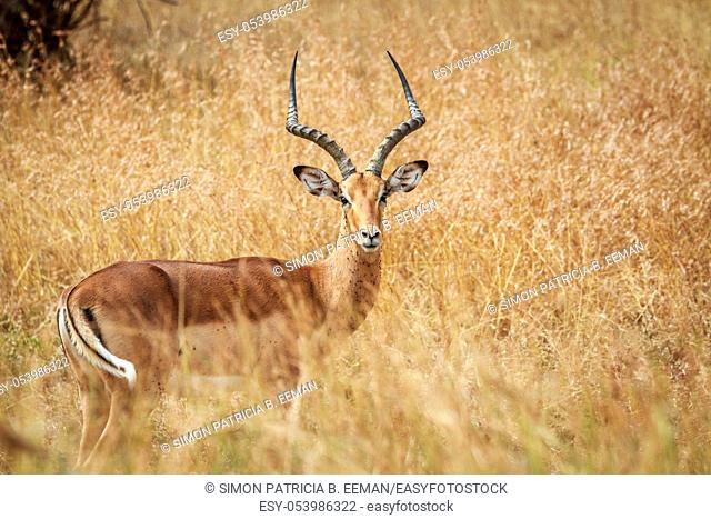 Male Impala starring at the camera in the Kruger National Park, South Africa