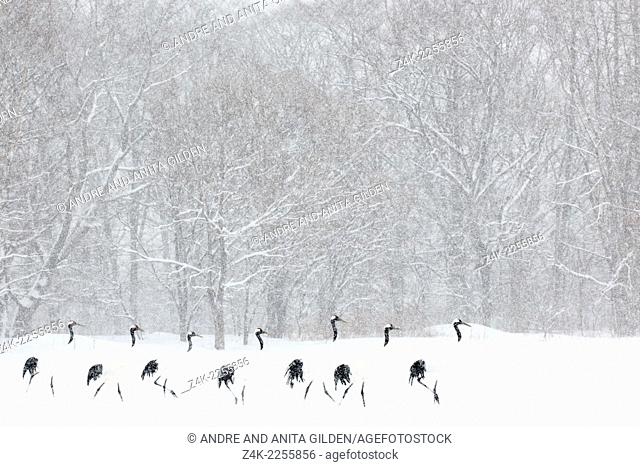 Red Crowned Cranes (Grus japonensis) walking in line in front of a forest during a blizzard. Winner highly honored Windland Smith Rice awards