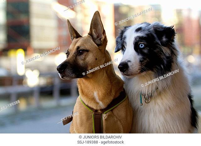 Mixed-breed dog (Malinois x ?) and Australian Shepherd in a city. Hamburg, Germany