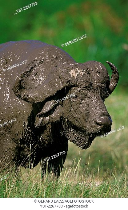 African Buffalo, syncerus caffer, Mud covered, Serengeti Park in Tanzania