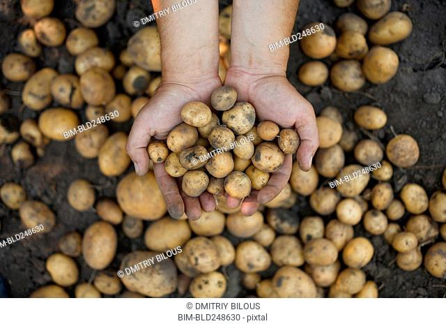 Dirty hands holding potatoes