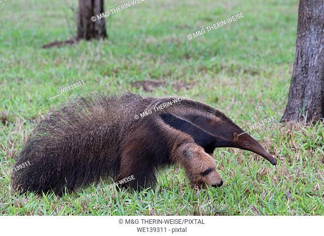 Giant Anteater (Myrmecophaga tridactyla), Mato Grosso, Brazil