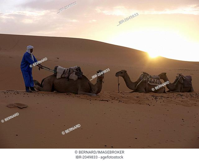 Tuareg man preparing camels at dawn for a camel ride, sand dunes of the Erg Chebbi Desert, near Merzouga, Morocco, North Africa, Africa