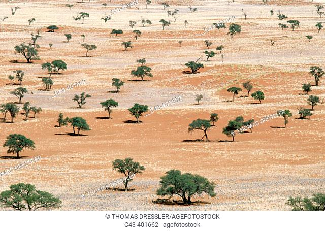 Landscape with Bushman grass (Stipagrostis sp.) and Camelthorn trees (Acacia erioloba), at the edge of the Namib desert. In area of the excusive Wolwedans Dunes...