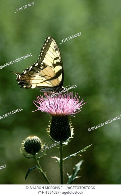 Eastern Tiger Swallowtail butterfly, Papilio glaucus, on thistle flower with evening backlighting in a meadow, Missouri, USA