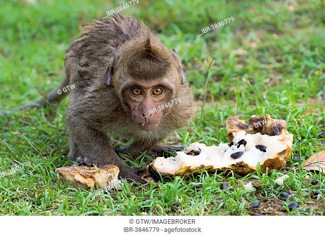 Crab-eating macaque (Macaca fascicularis), young feeding on fruit, Thailand