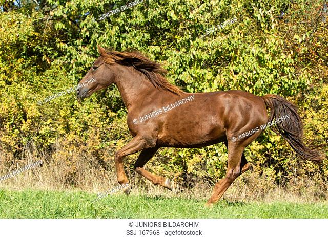 Morgan Horse in a gallop on a meadow