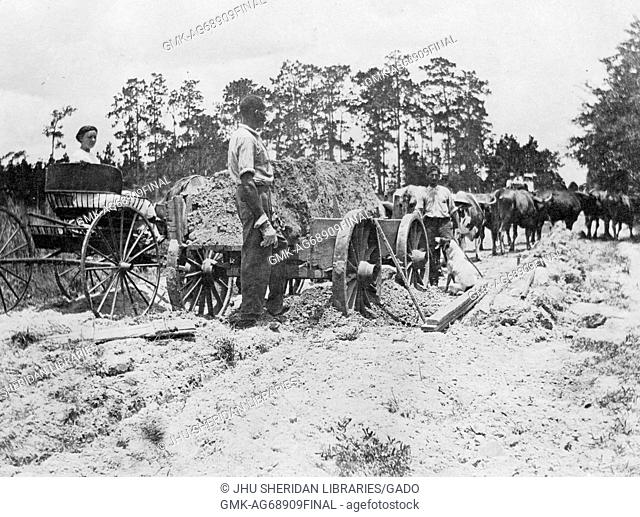 African American workers standing outside next to a row of wagons on a path in a clear wooded area, with a row of bulls up ahead, 1920