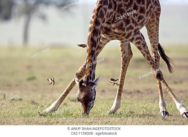 Maasai Giraffe (Giraffa camelopardalis tippelskirchi) bending down to feed surrounded by Yellow-billed oxpeckers (Buphagus africanus)