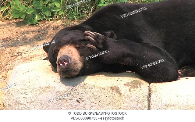 Close-up of sun bear scratching his head while sleeping
