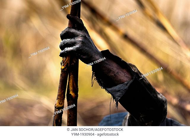 A worker holds a sugar cane stalk while working on a plantation near Florida, Valle del Cauca, Colombia, 30 May 2012 The Cauca River valley is the booming...