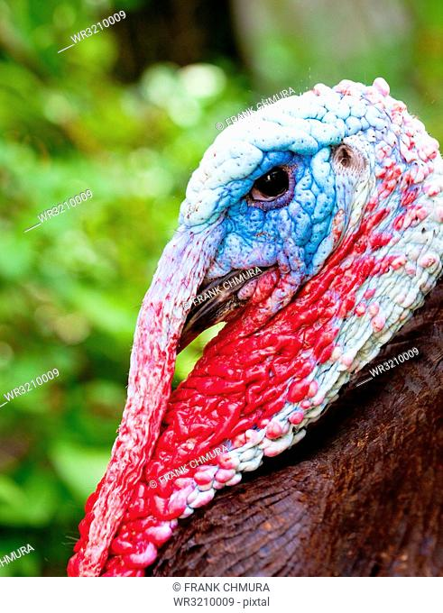 Closeup of a Colorful Male Turkey Bird Outdoors