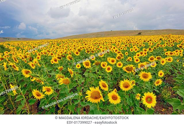 field of blooming sunflowers in summer time