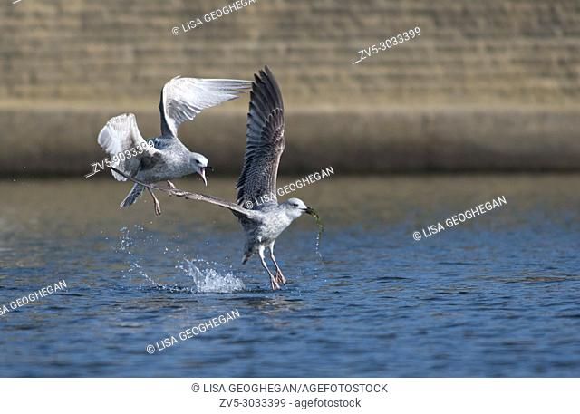 Pair of juvenile Herring Gulls-Larus argentatus display behavior. Uk