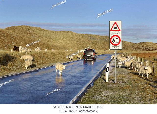 Sheep, herd on road, Ellenbogen, List, Sylt, North Frisia, Schleswig-Holstein, Germany