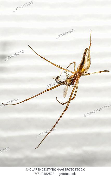 Long-jawed Orb Weaver Spider (Tetragnatha elongata) Feeding on Midge Fly (Chironomous plumosus)