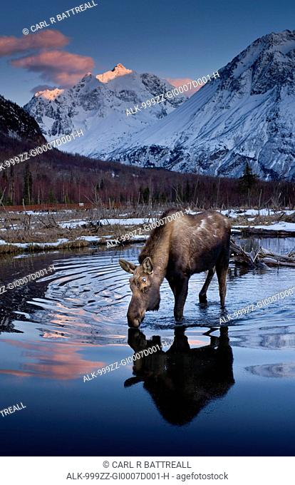 Scenic view at sunset of a moose drinking from a pond with alpenglow on Polar Bear Peak in the background, Chugach State Park, Southcentral Alaska, Spring