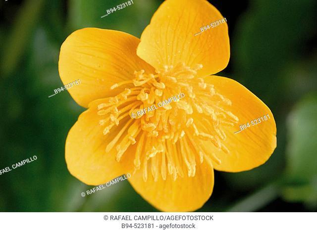 Marsh Marigold (Caltha palustris). Osseja, France
