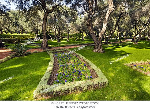 Beautiful olive trees in the Bahai Gardens at Mount Carmel in Haifa, Israel, Middle East