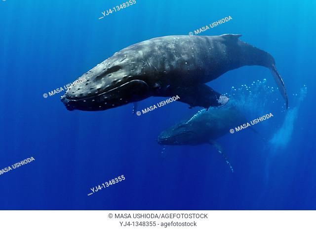 humpback whales, Megaptera novaeangliae, displaying courtship behavior - male aggressively pursuits female while blowing bubbles vigorously, Hawaii, USA